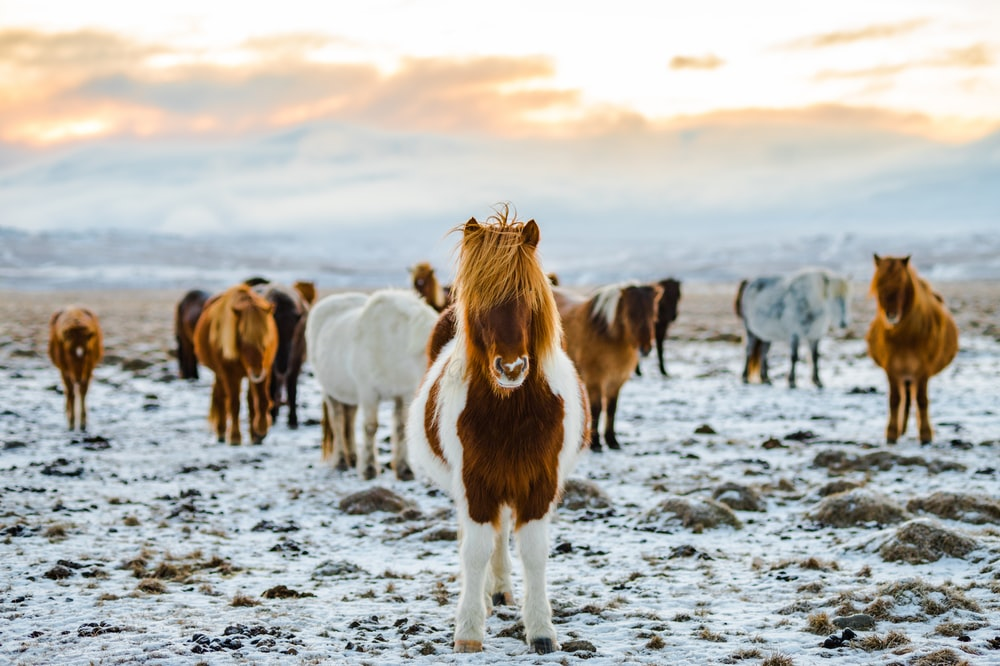herd of white and brown donkeys on snow-covered land