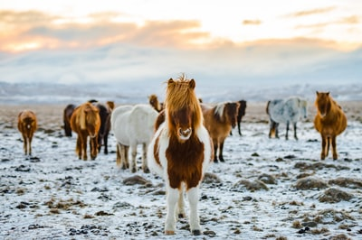 herd of white and brown donkeys on snow-covered land pony zoom background