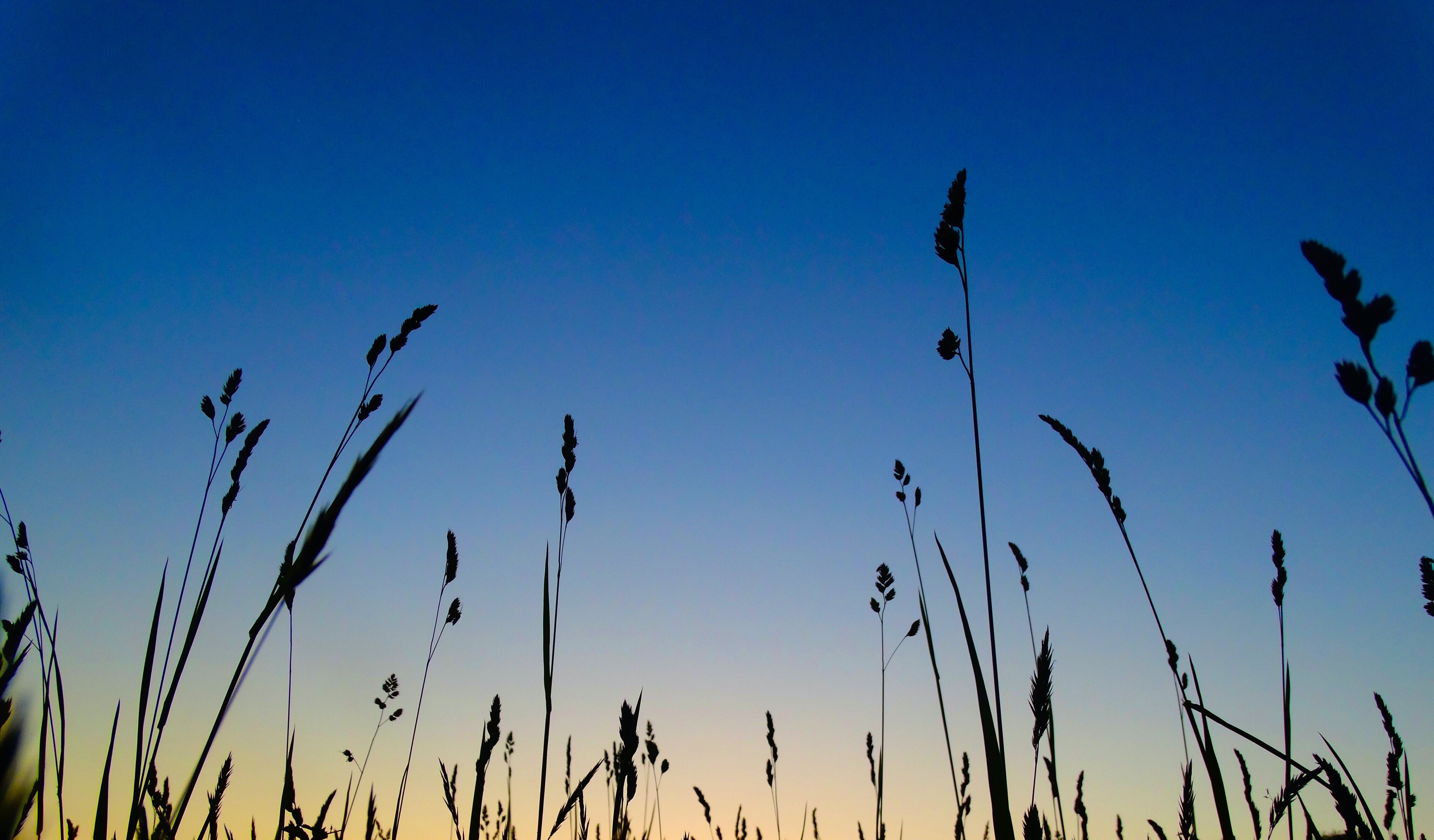 worms-eye view of grasses under blue sky