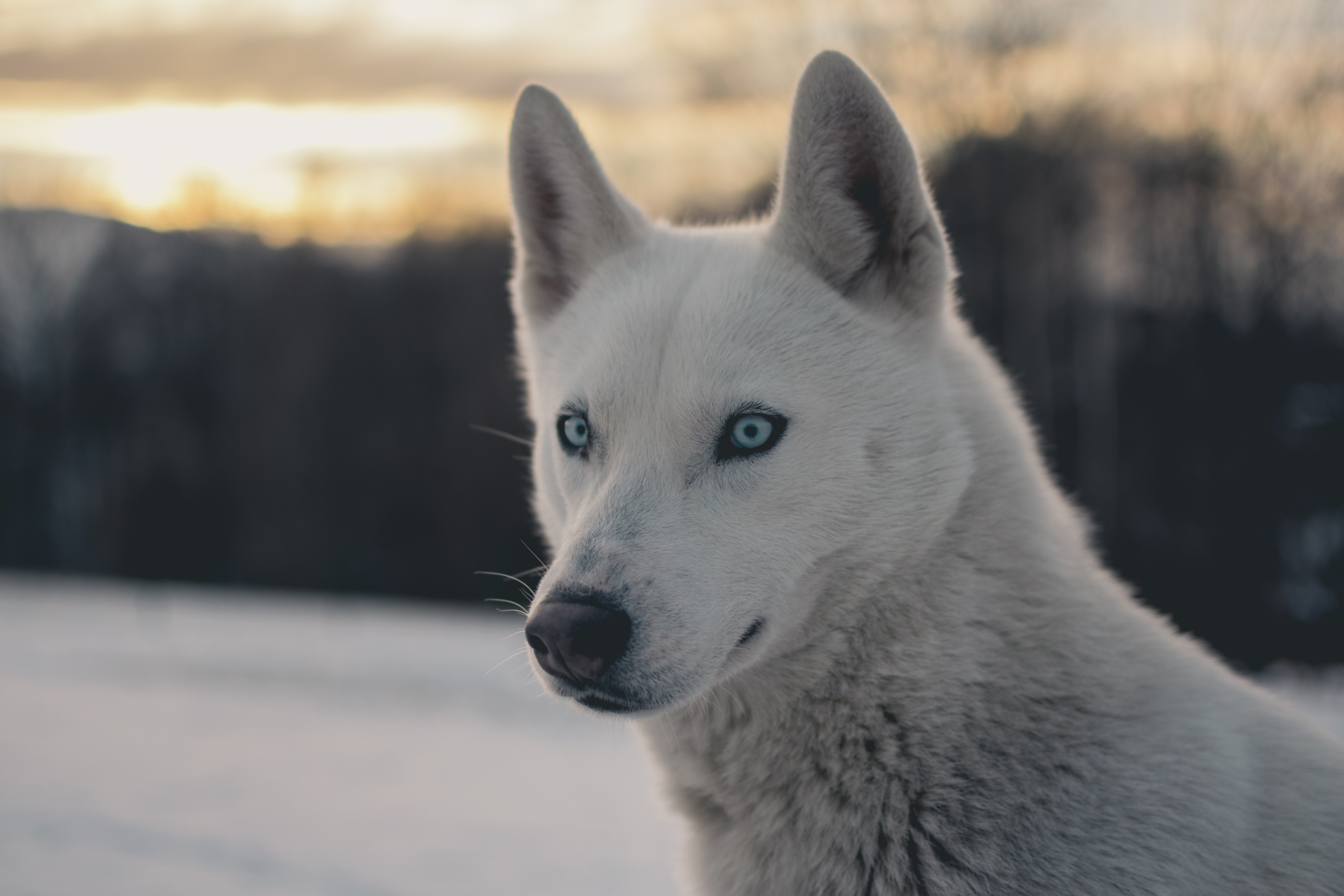 white wolf shallow focus photography