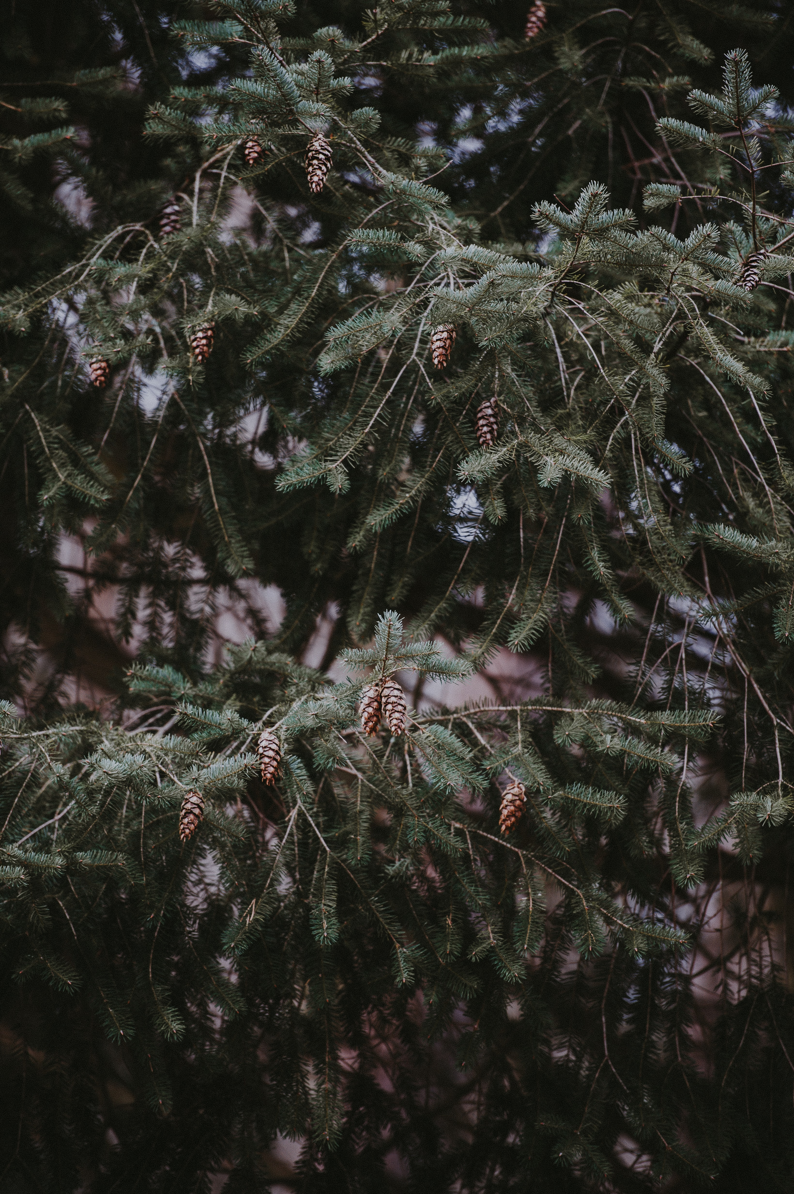photography of pinecone tree