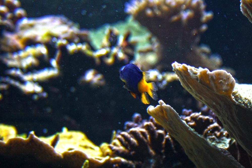 blue and orange pet fish