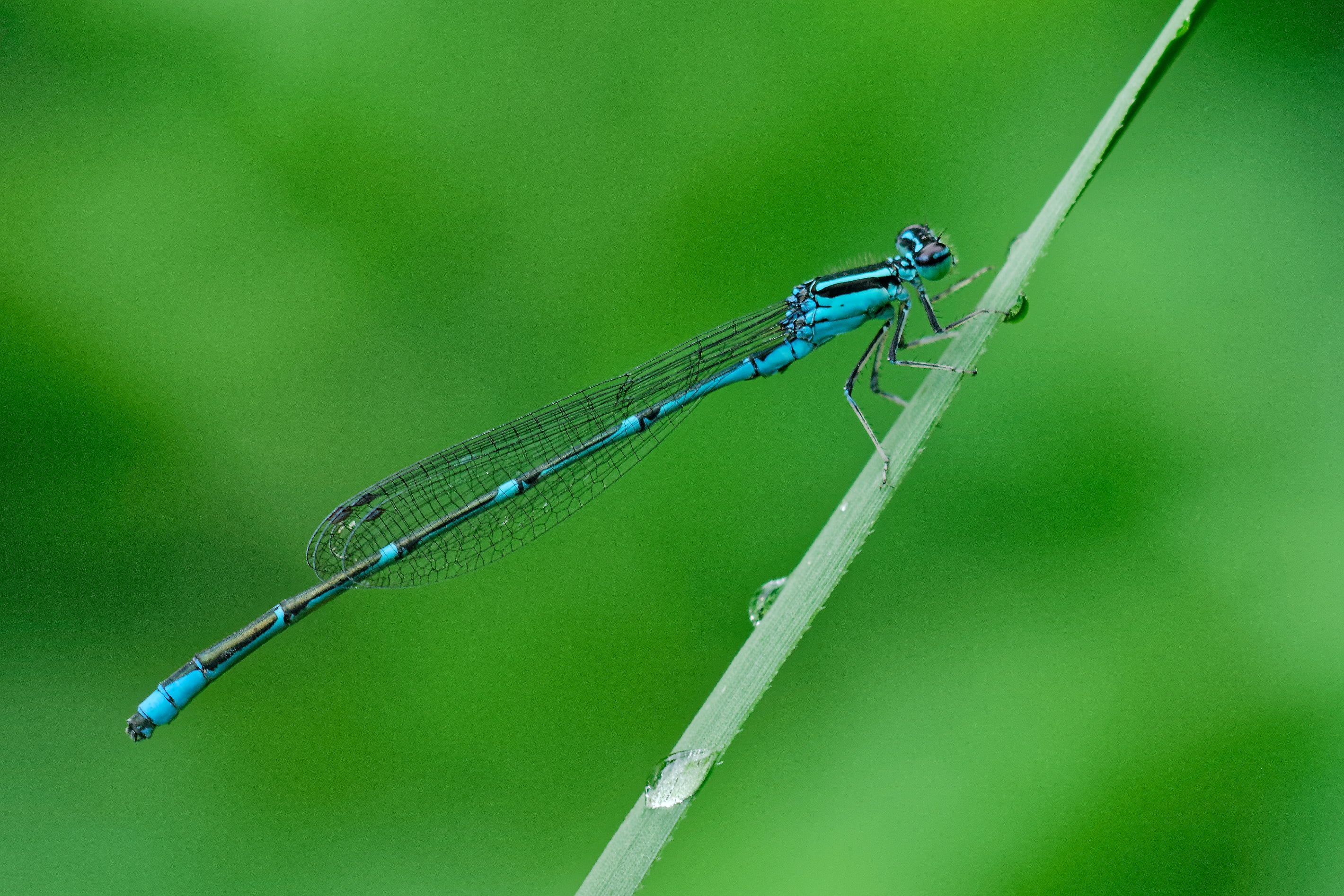shallow focus photography of blue dragonfly on green grass with water drops