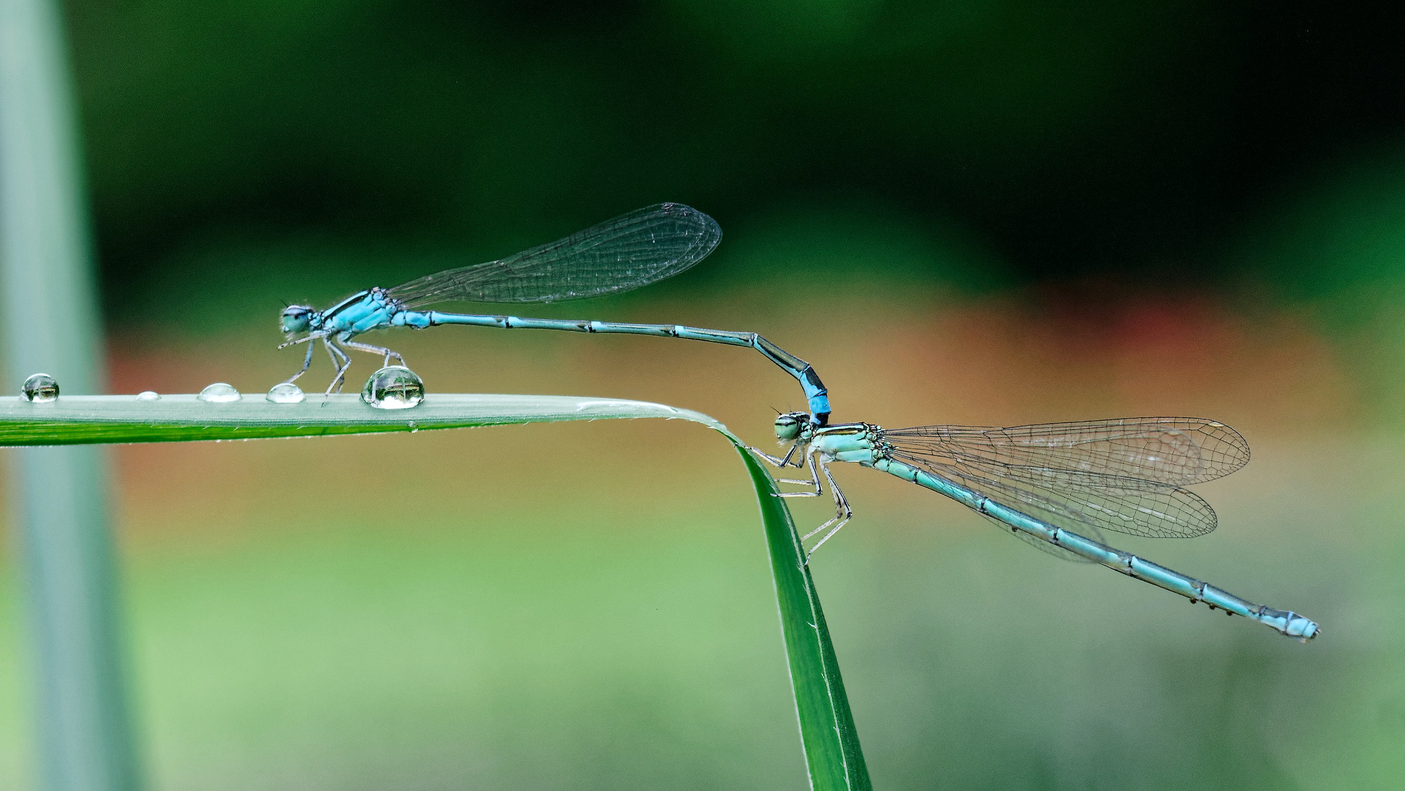 two dragonflies on leaf