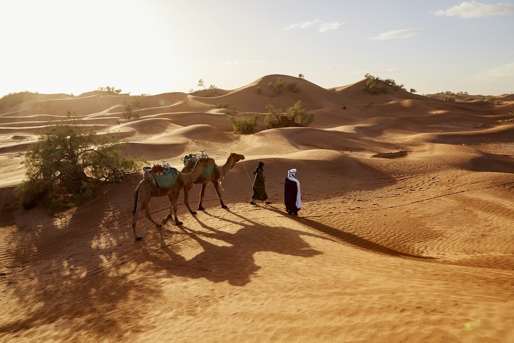 people walking with two camels walking on desert