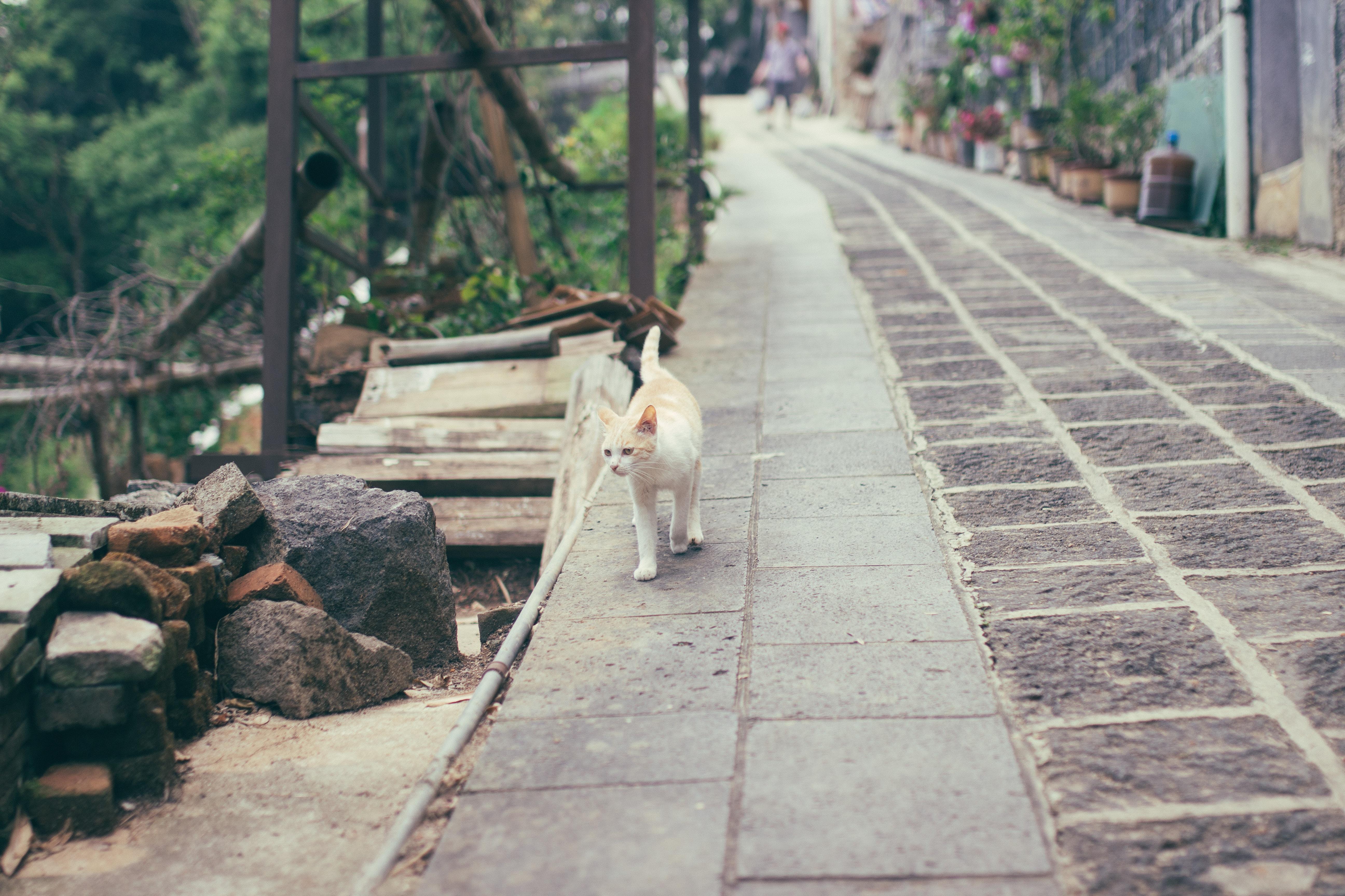 orange and white cat