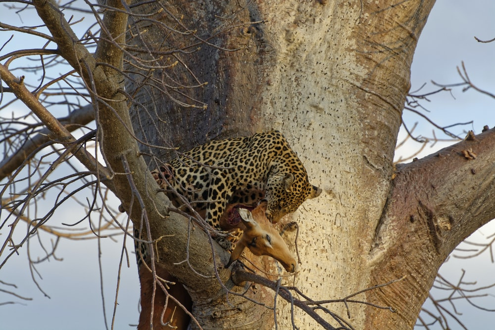 leopard eating deer on tree
