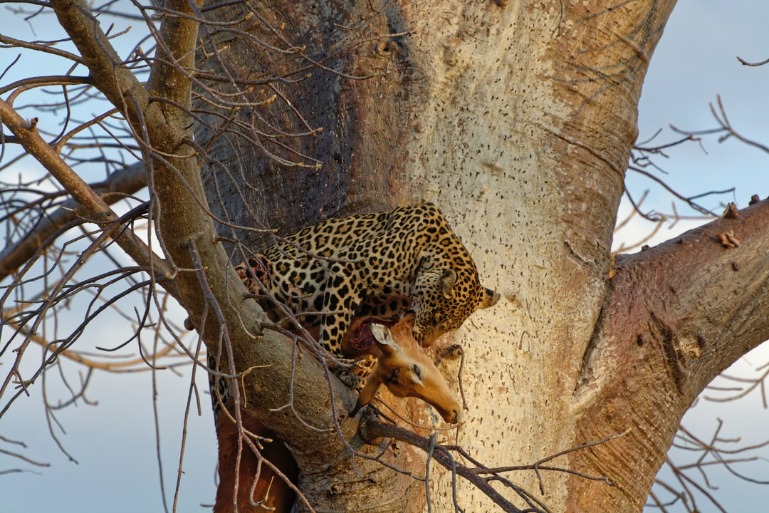 We found a leopard with a kill on the ground.  When a hyena arrived he took the kill up this tree so taking it out of reach.  Unfortunately he could not get the buck securely over the branch and dropped it when his grip gave up.  Later we saw him back up the tree with his kill and safe from the hyena who,could as a pack chase him off .