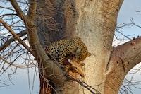 leopard eating deer on tree