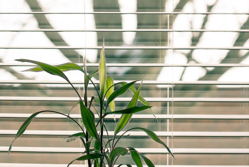 窓のブラインドの横にある緑の葉のある植物