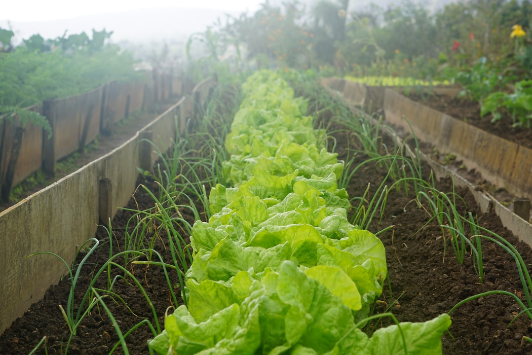 In-ground | How To Grow Lettuce For A Free And Fresh Winter Supply