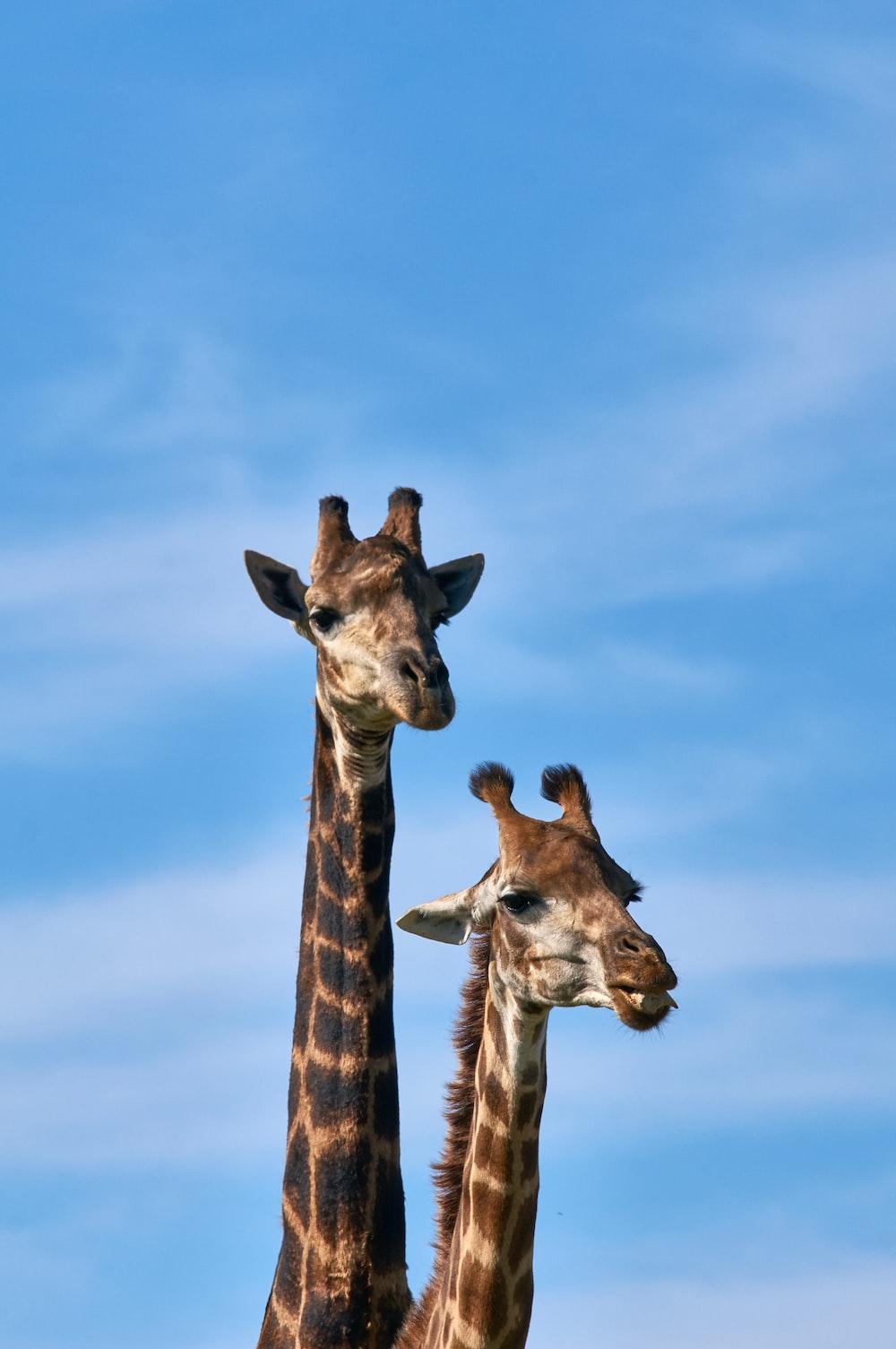 two brown giraffes