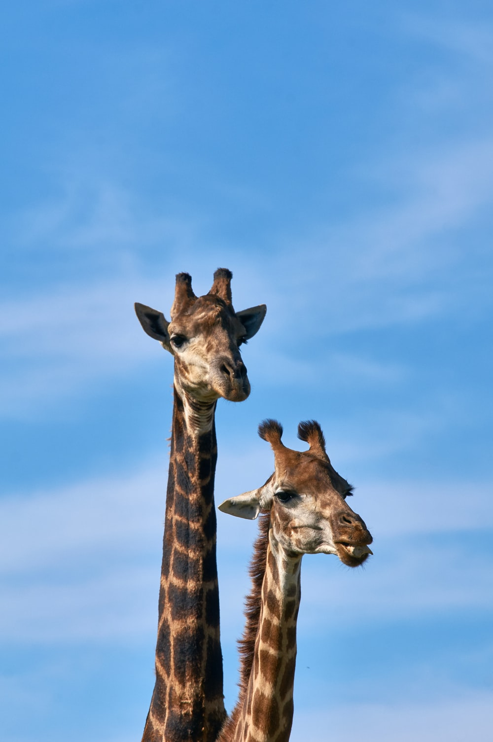 two brown giraffes