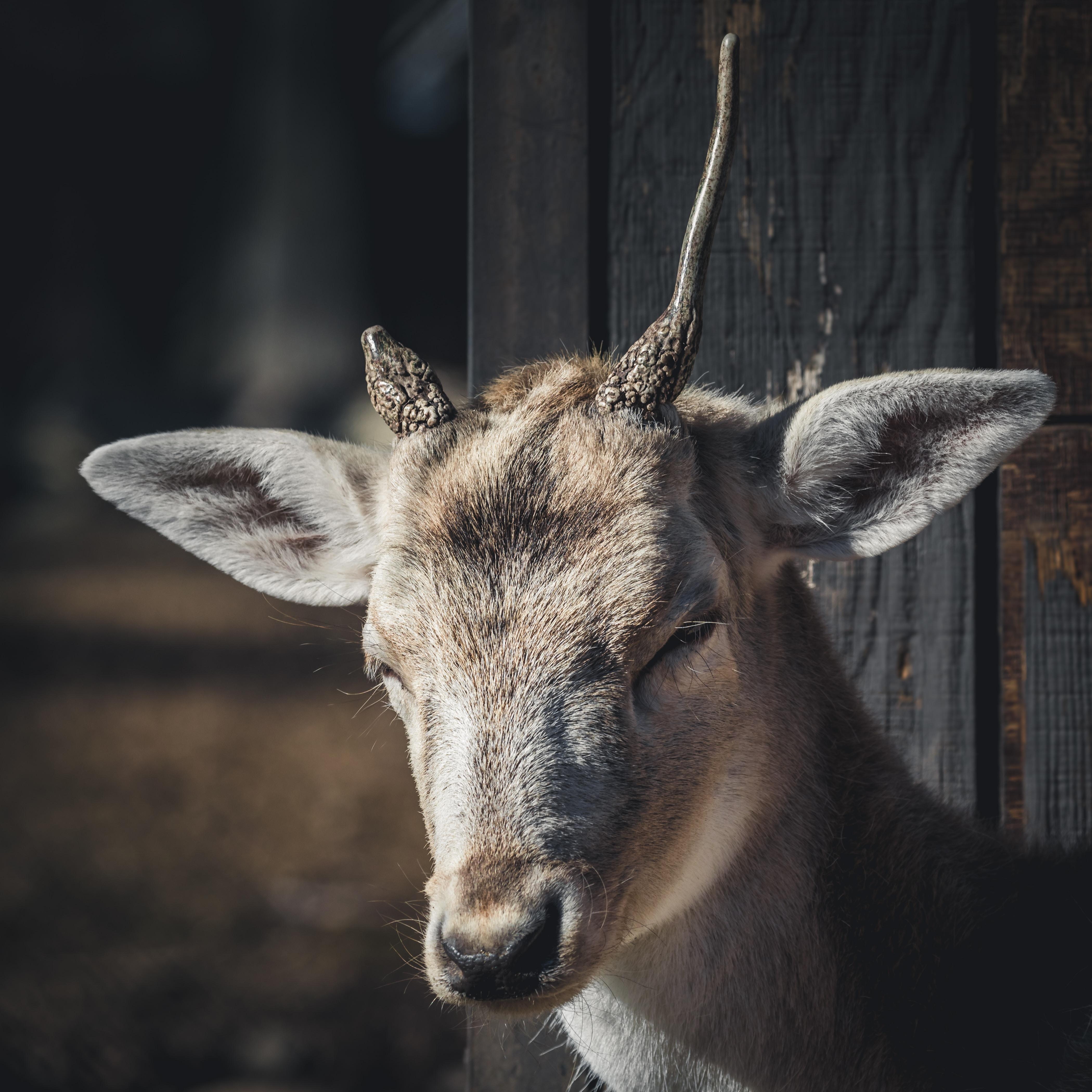 selective focus photography of brown deer standing beside gray wooden wall