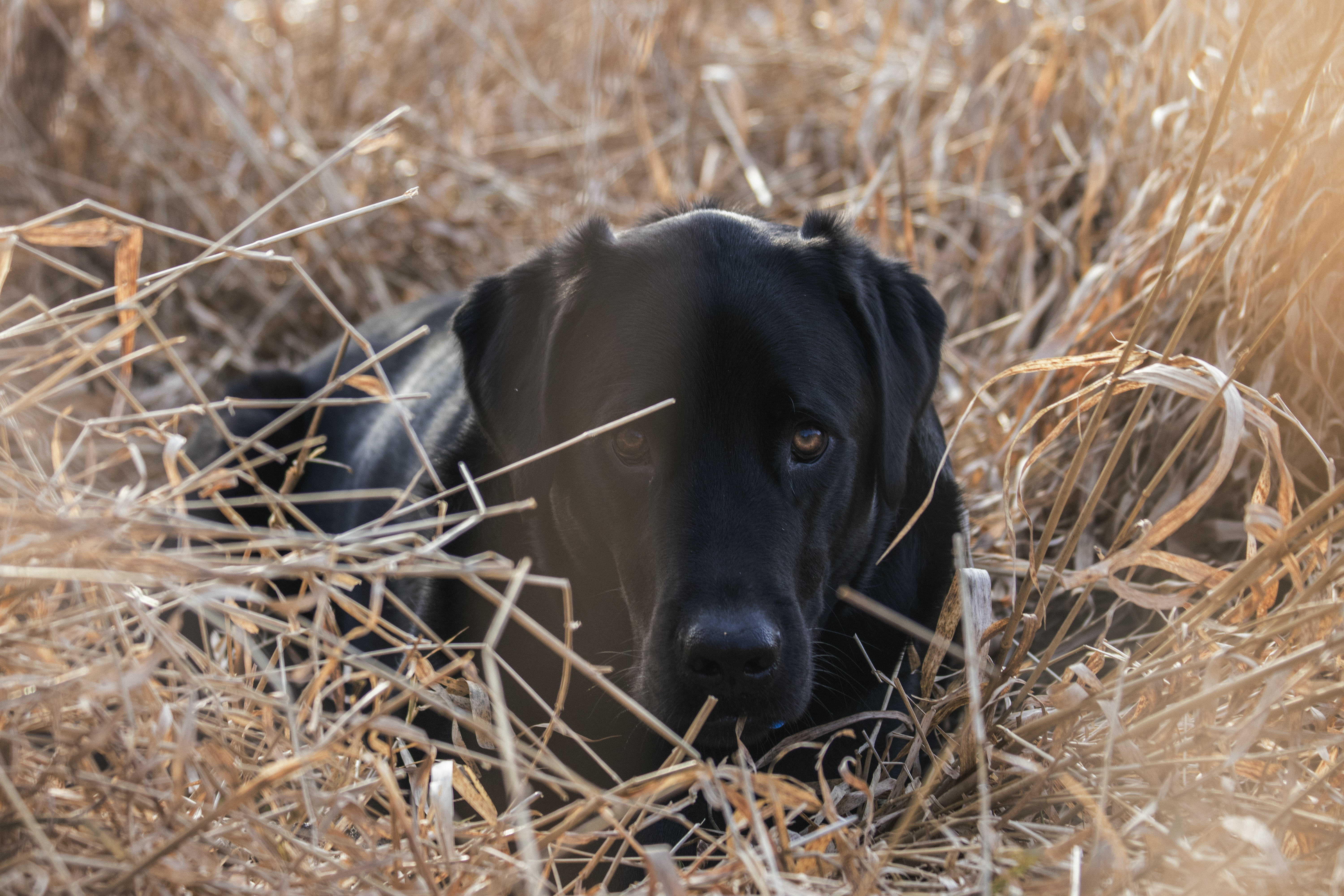 black dog on brown grass