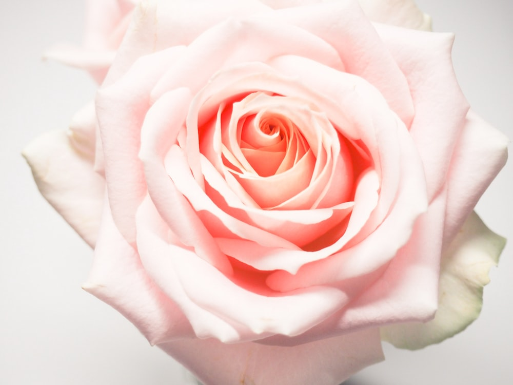 close up photography of pink rose flower