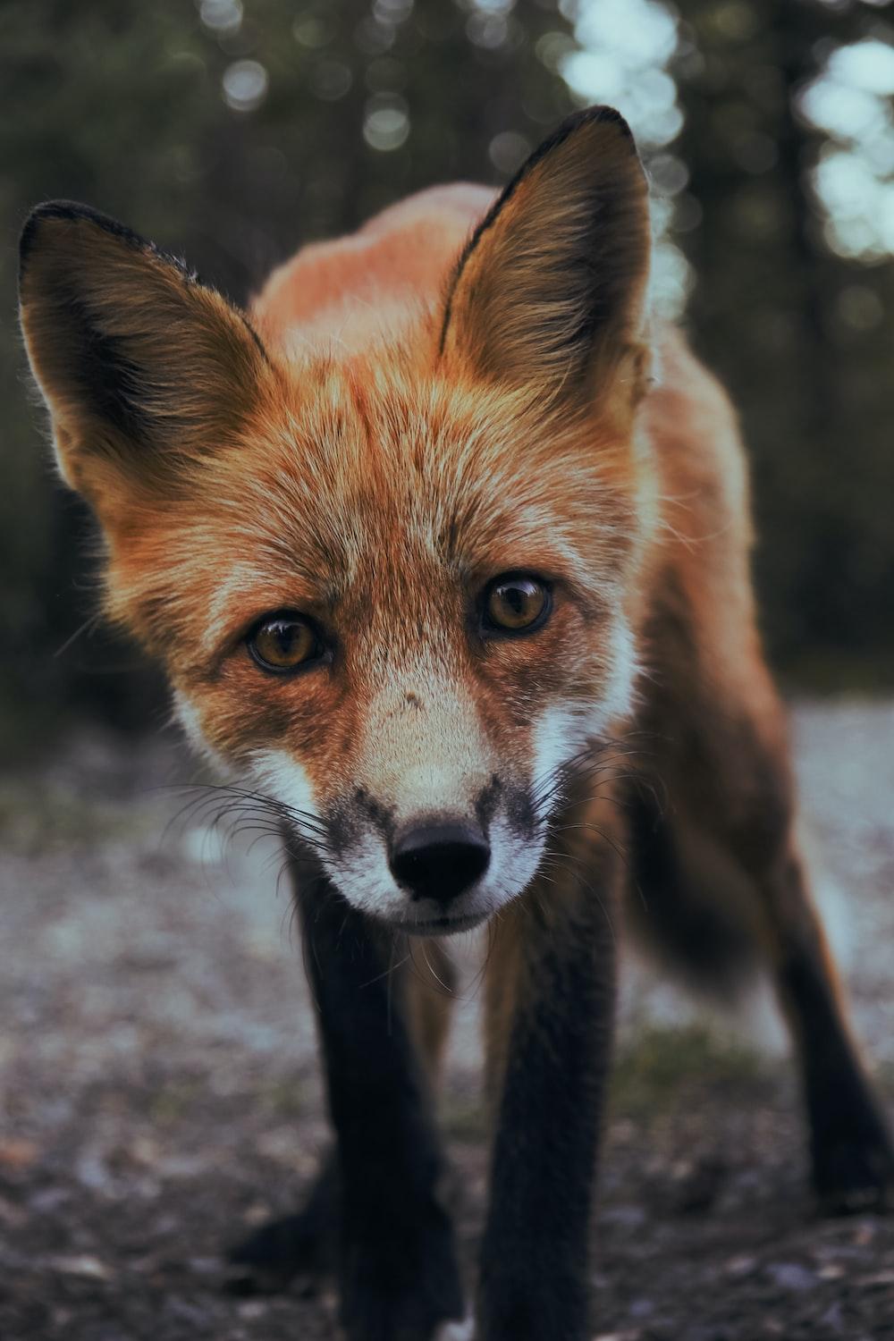 selective focus photography of orange fox