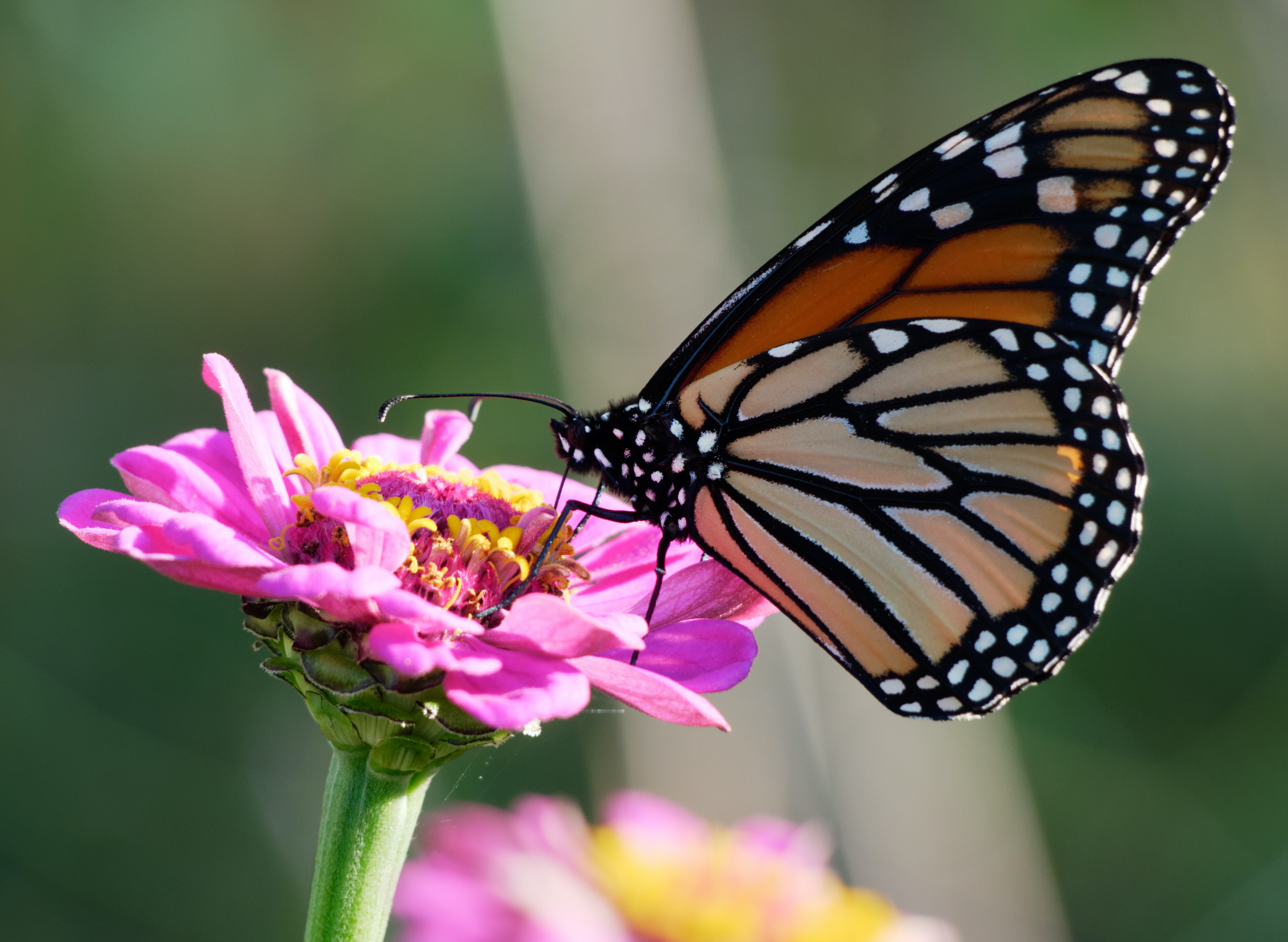 selective focus photo og monarch butterfly
