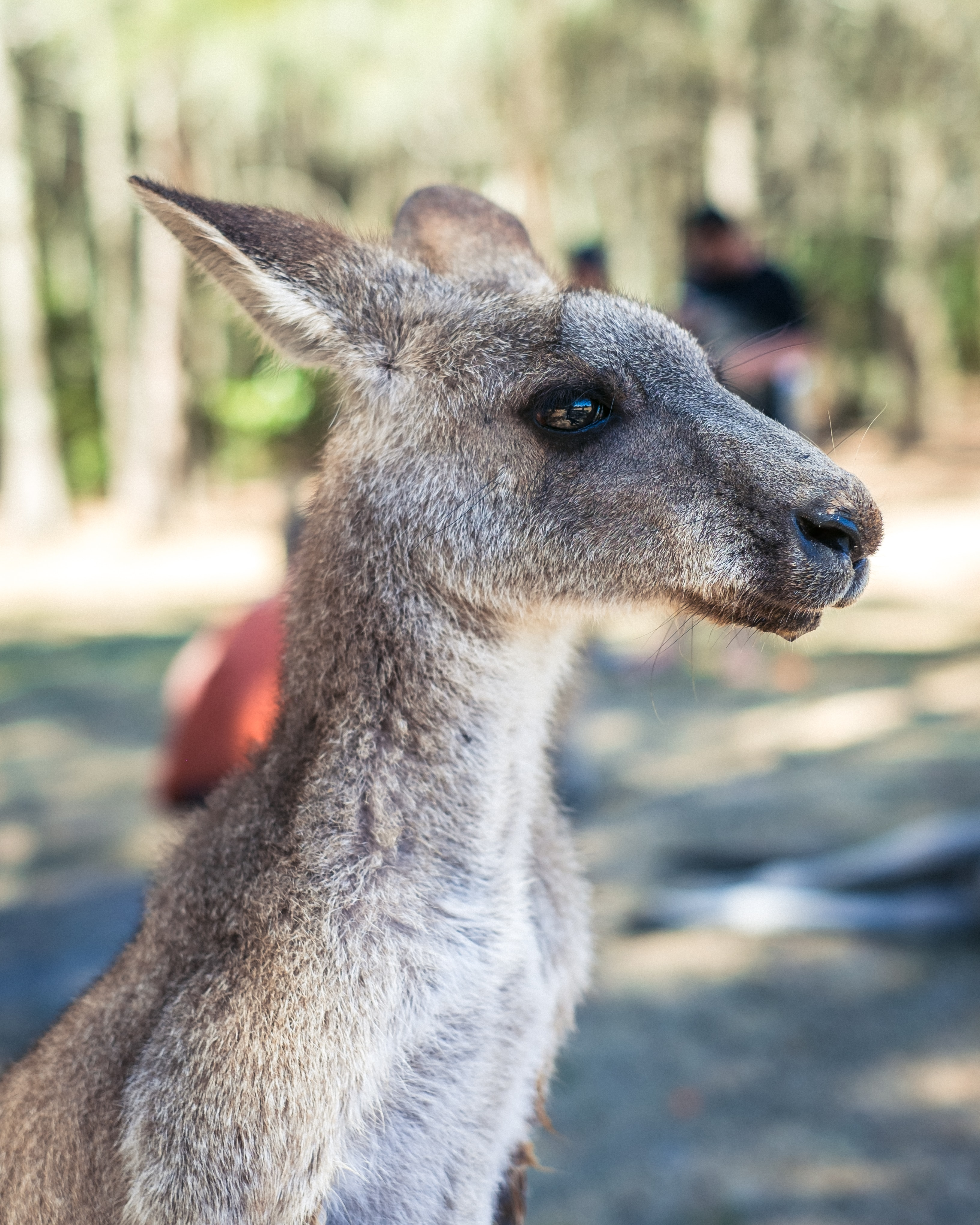 closeup photo of gray kangaroo