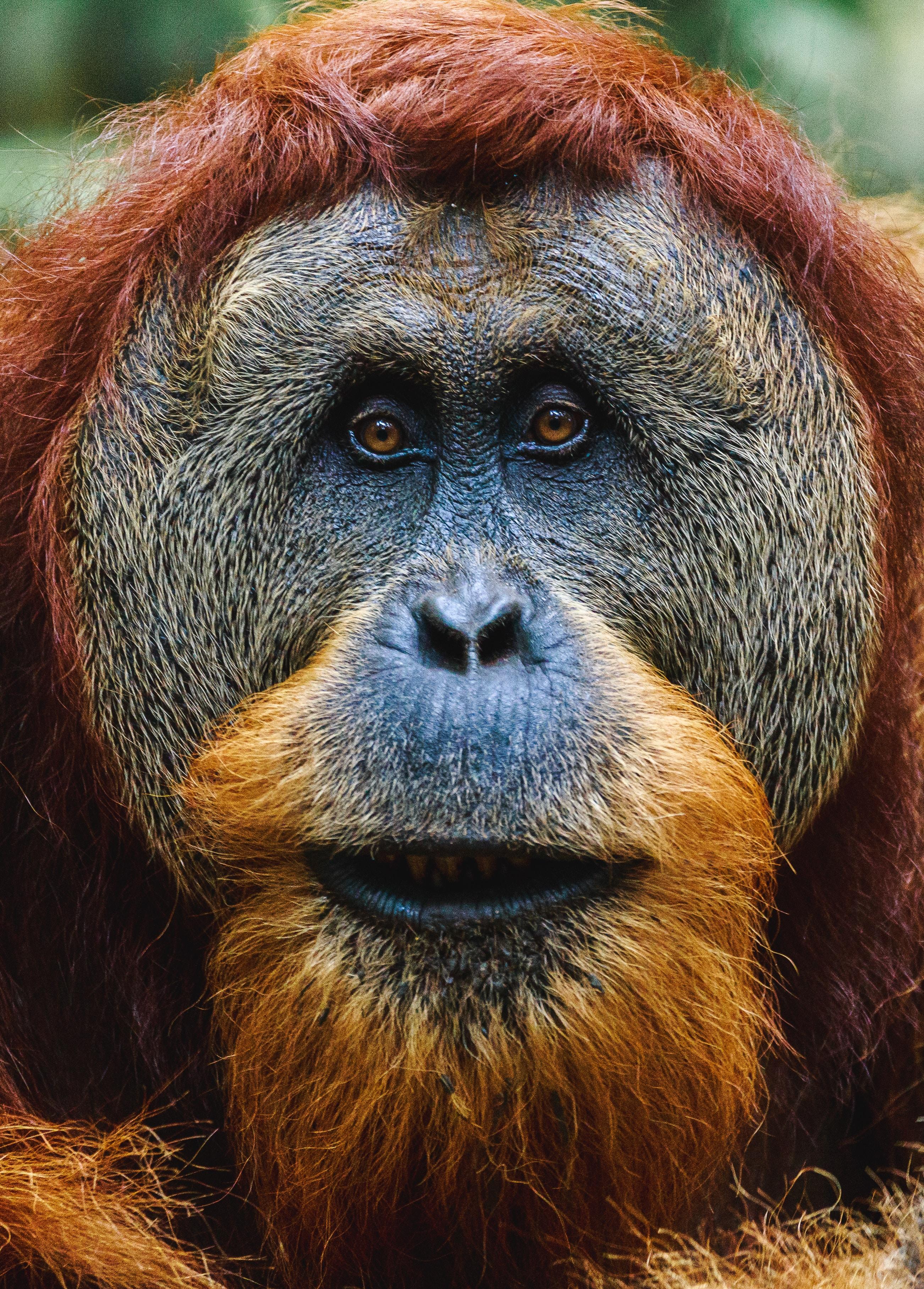 close-up photo of orangutan