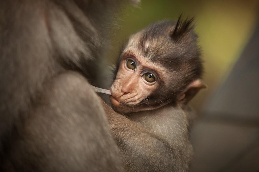 closeup photography of baby monkey