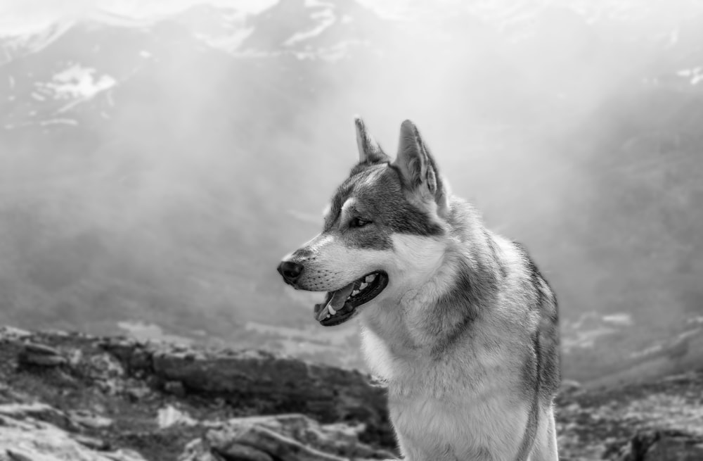 grayscale photography of wolf in snow field