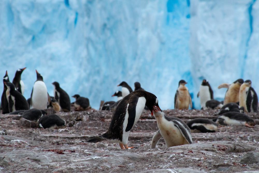 flock of penguins