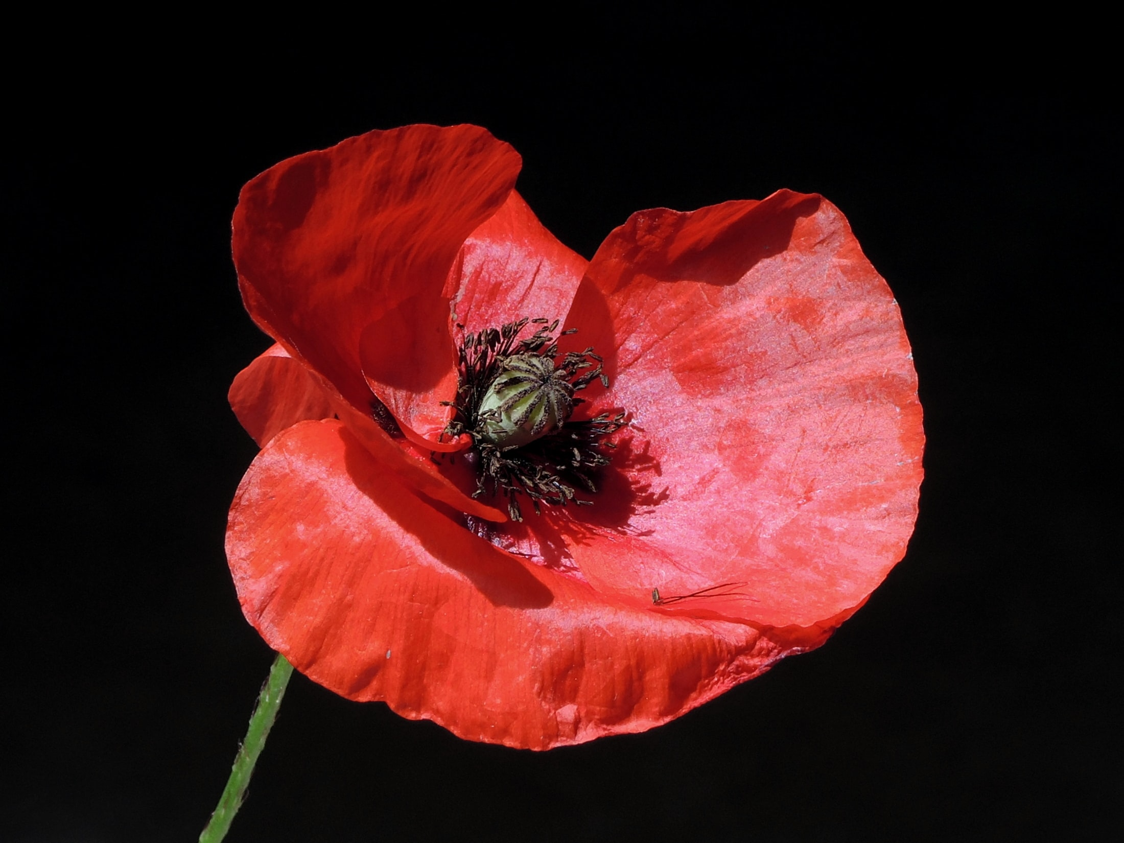 photo of poppy flower