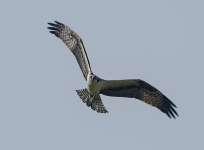 eagle flying on the sky