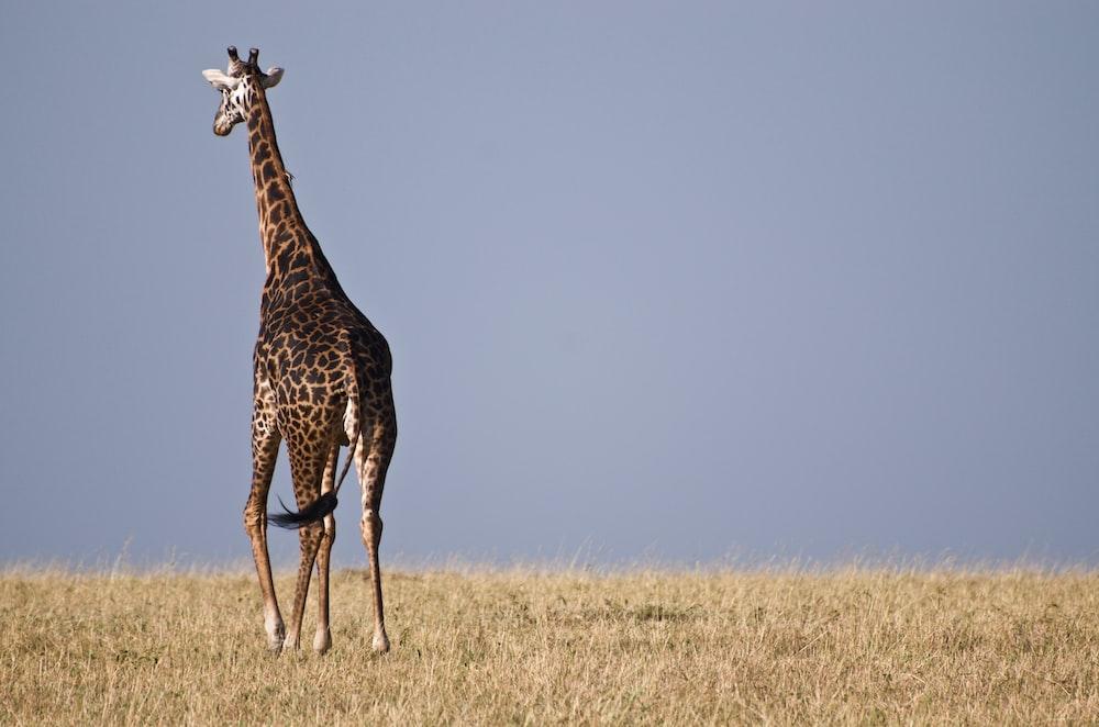 giraffe standing on grassland