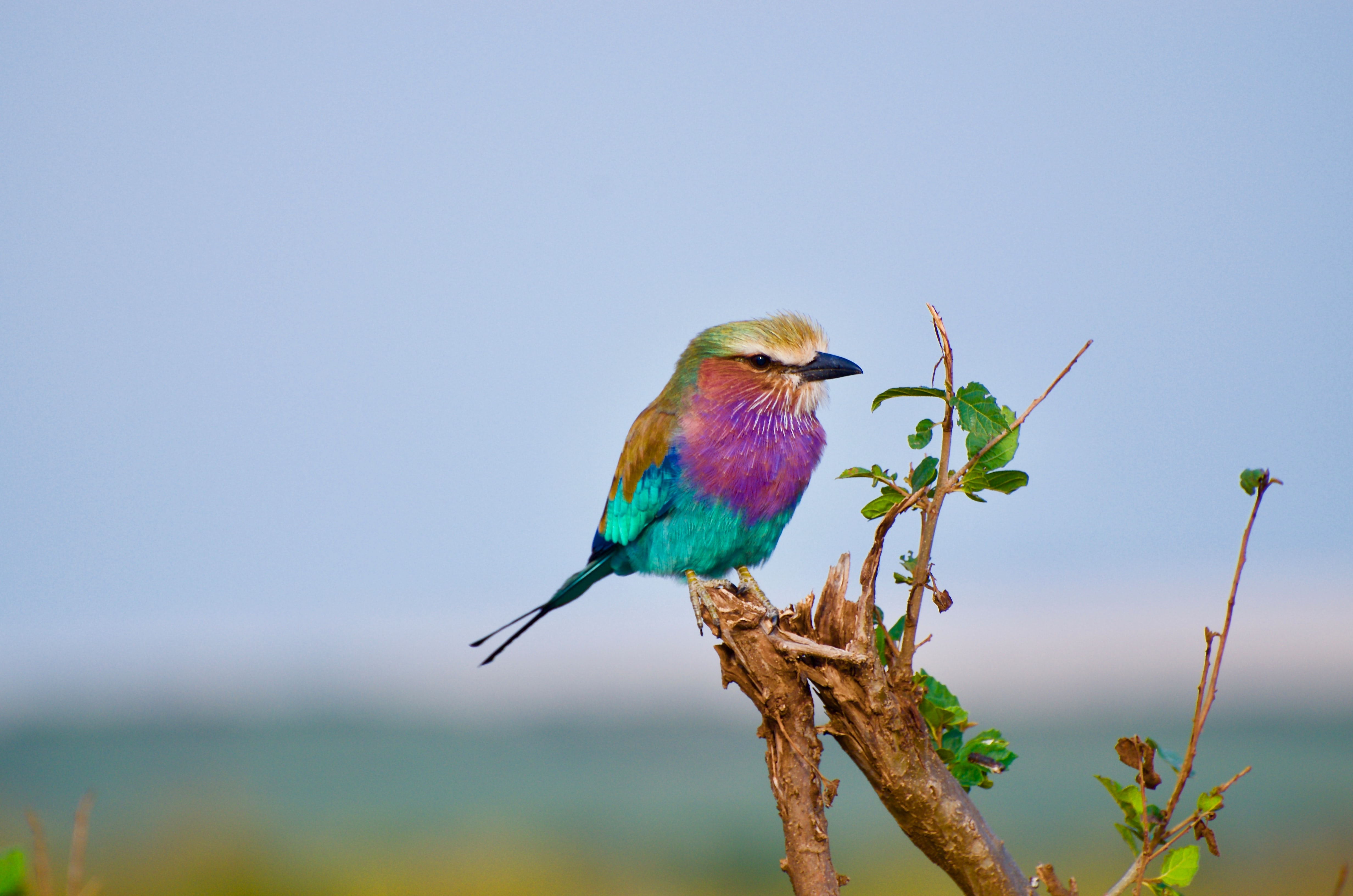 purple, blue, and brown bird perch on branch