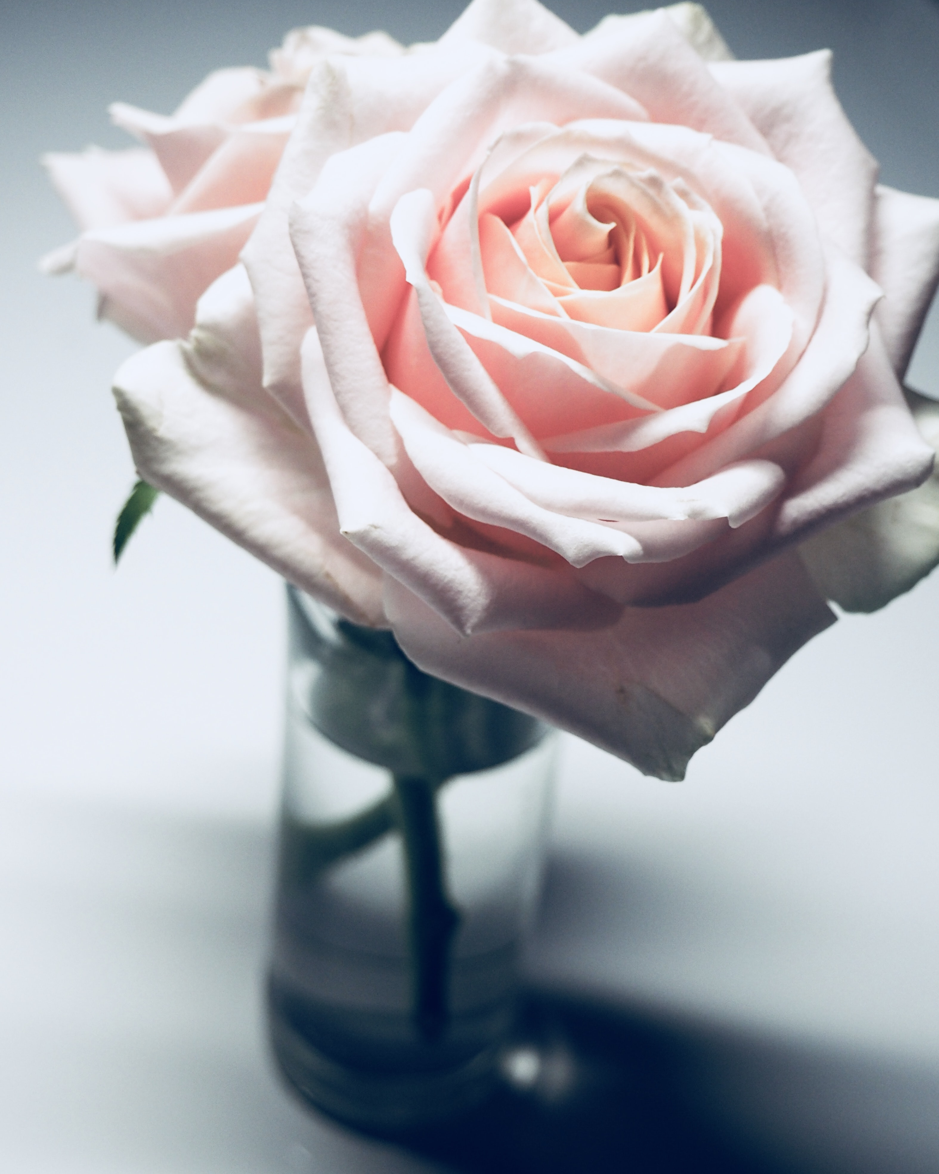 pink rose on clear glass vase