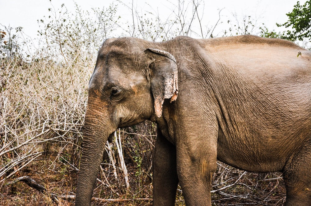 adult gray elephant stands near gray bush