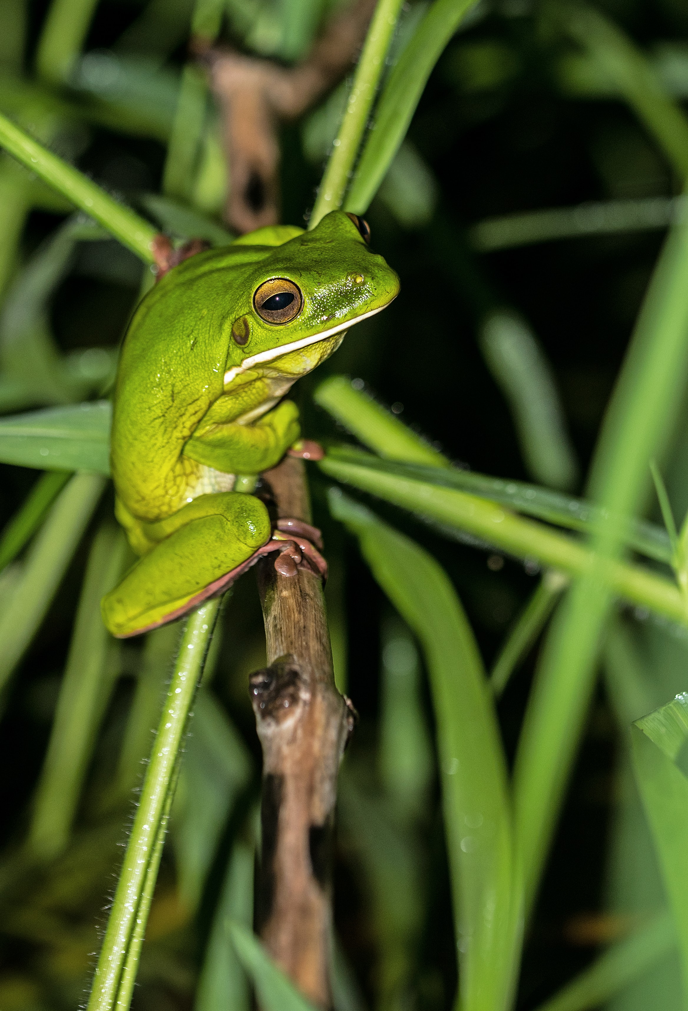 close-up photo of green tree frog