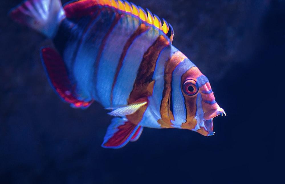 close-up photo of gray and orange fish