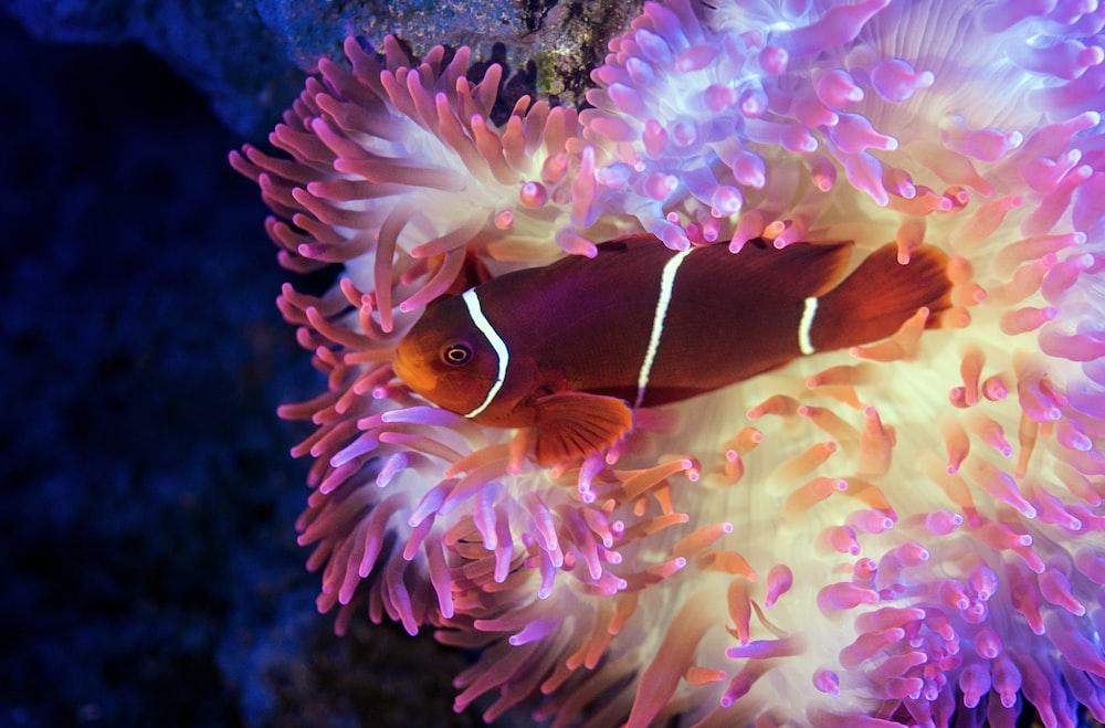 red, orange, and white fish swims near white, blue, and purple habitat
