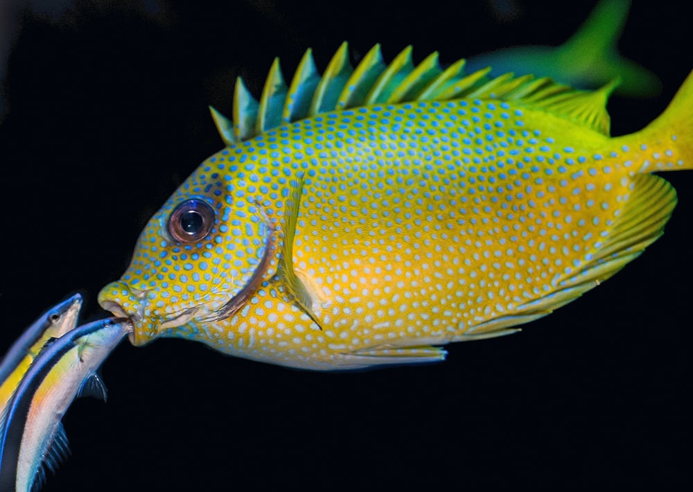 two fish peeking on mouth of yellow and green fish