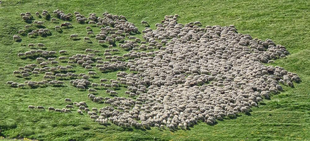 herd of sheep running on green grass field