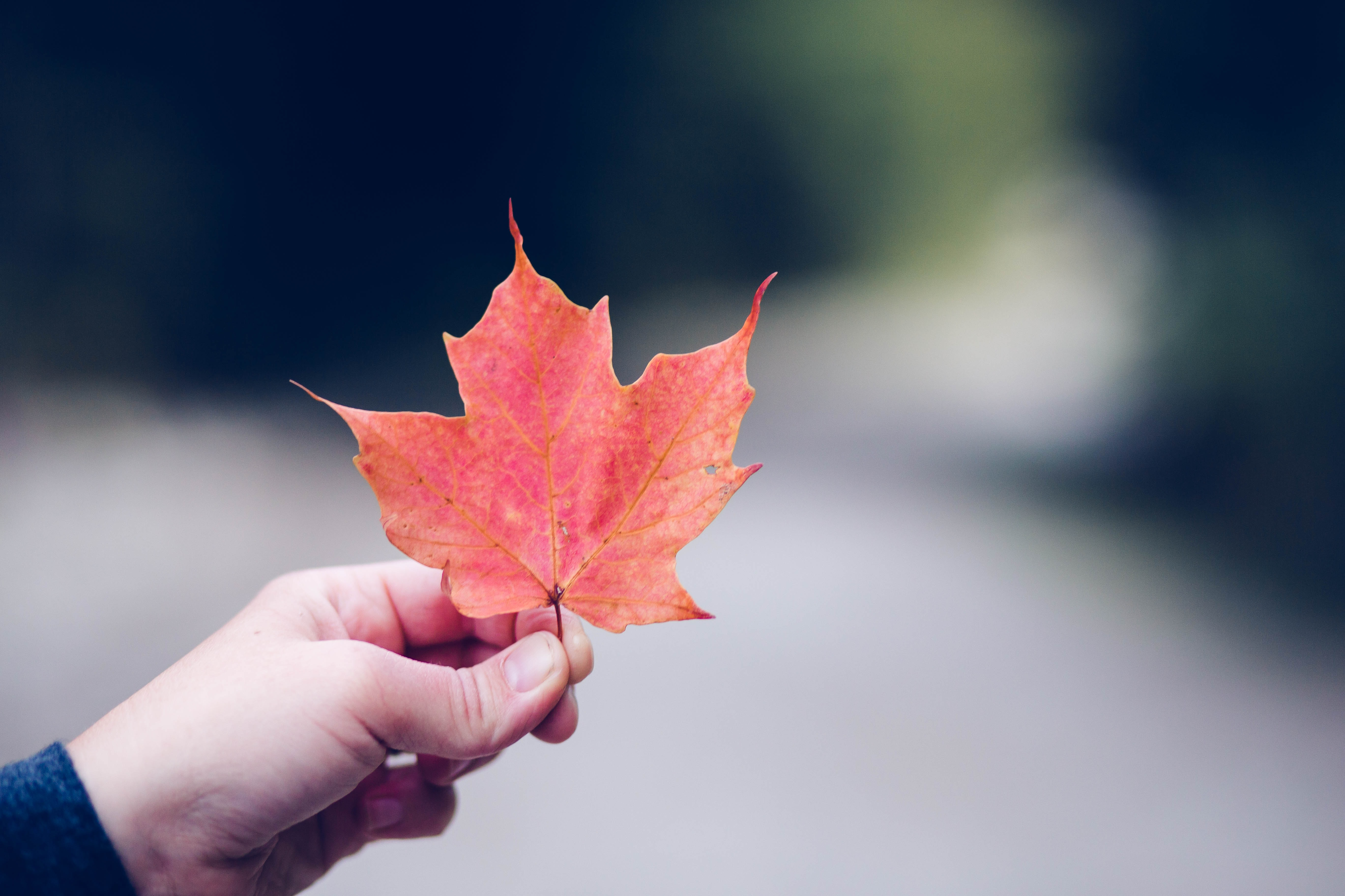 person holding orange maple leaf selective focus photography