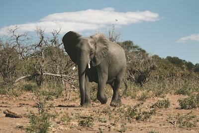 gray elephant under blue sky during daytime botswana zoom background