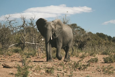 gray elephant under blue sky during daytime botswana teams background
