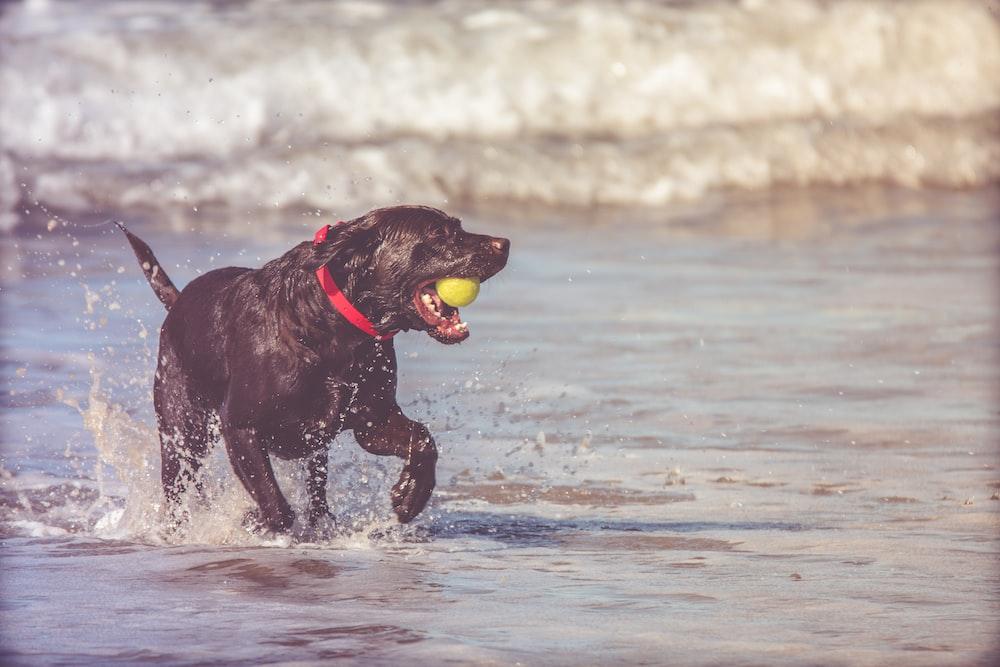 black dog fetching yellow ball