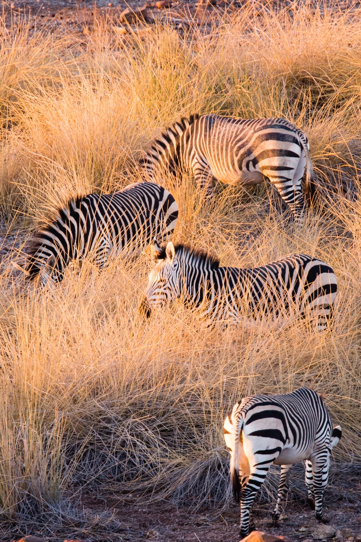 four zebras in field