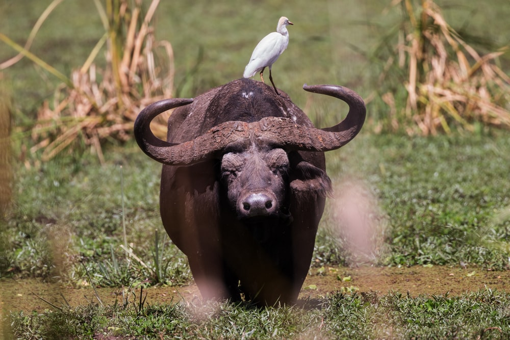 bird on buffalo at daytime