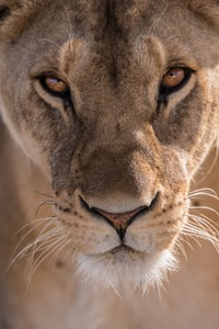 close-up photography of lioness head