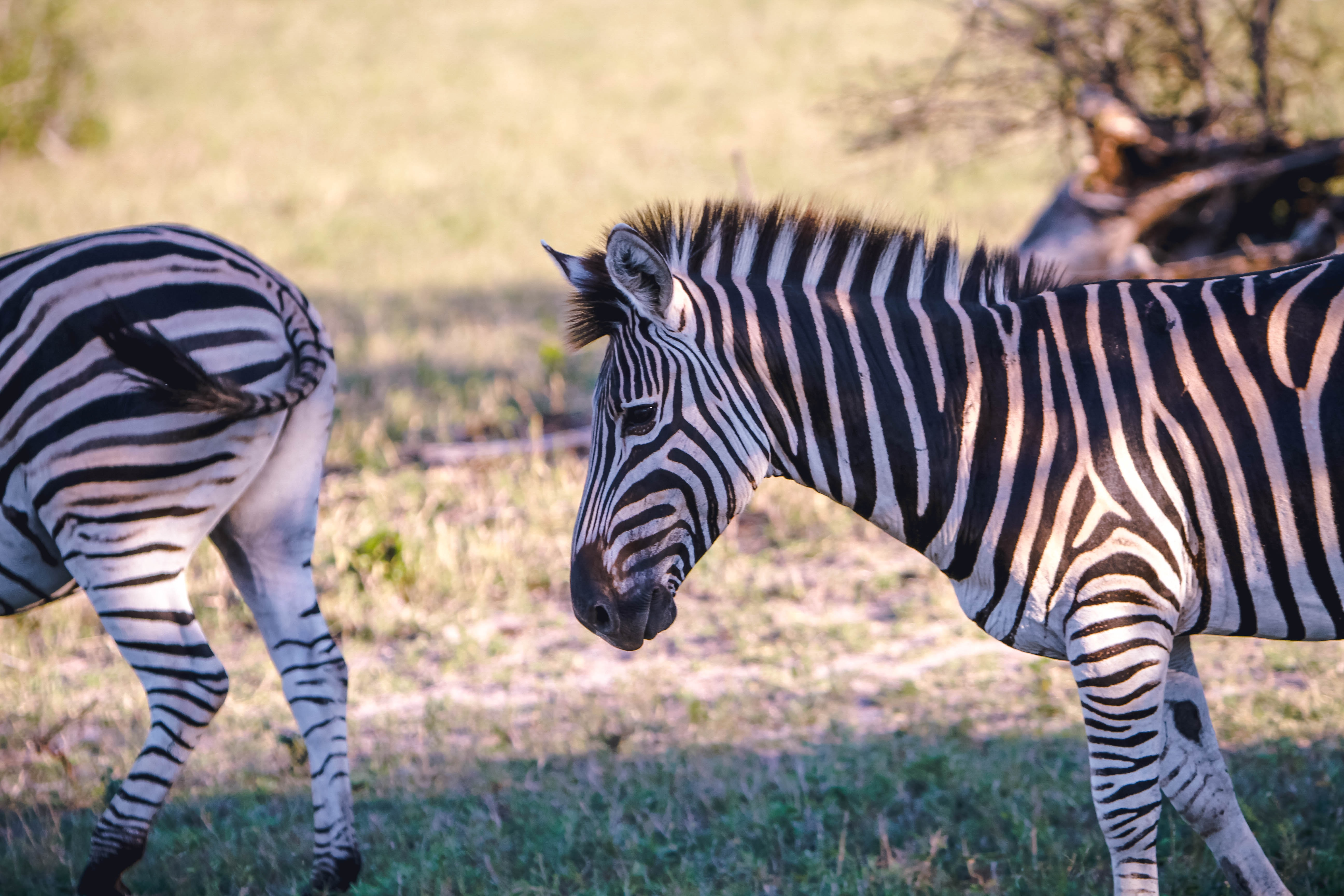 two zebras on green grass during daytime