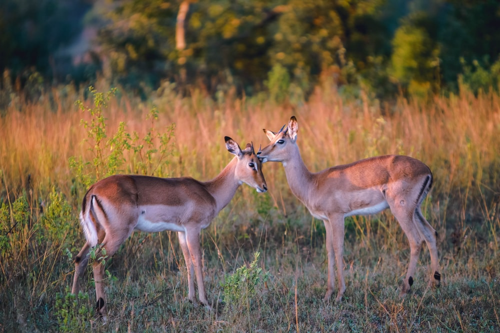 two brown deer on grass during daytime