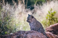 cheetah prowling on brown ground