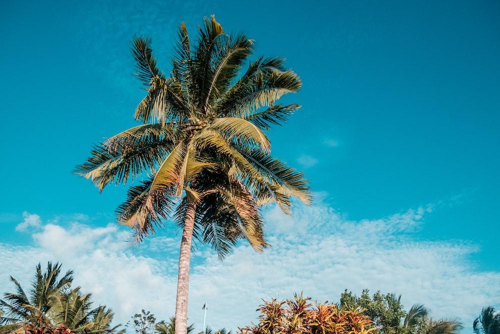 green palm tree