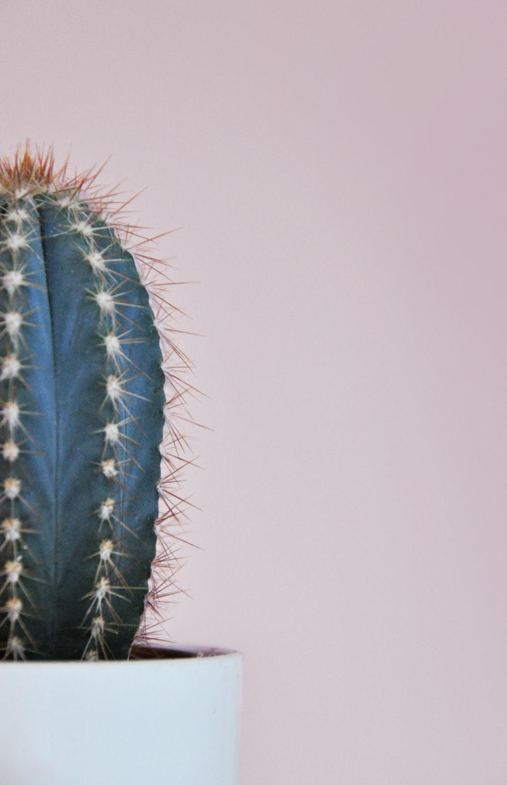 gray cactus plant on white pot